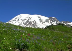 Mount Rainier with green meadow of wildflowers in the foreground