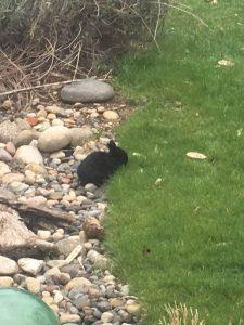 Black baby rabbit nibbles grass in garden.